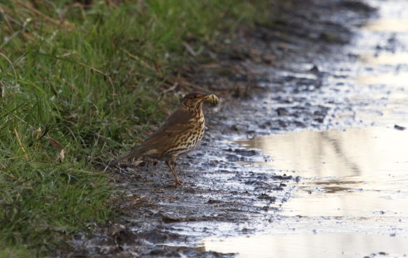 28.12.13. Song Thrush with Snail, Frodsham Marsh. Heather Wilde.