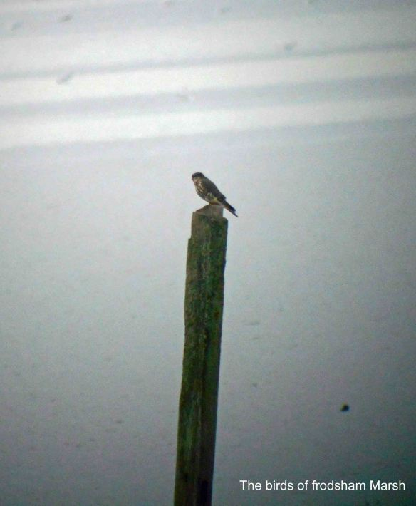 04.01.14. Merlin (female), Frodsham Score, Frodsham Marsh. Bill Morton (1)