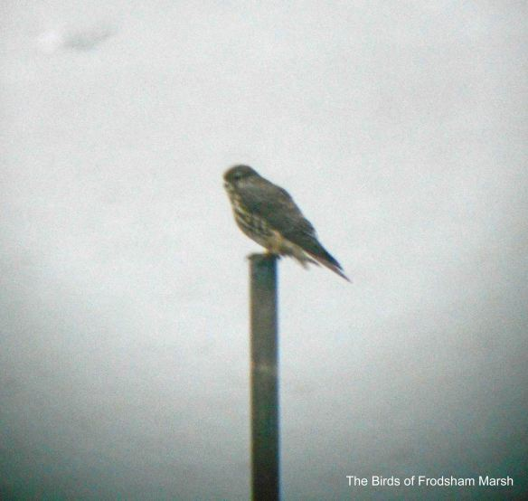 04.01.14. Merlin (female), Frodsham Score, Frodsham Marsh. Bill Morton (2)
