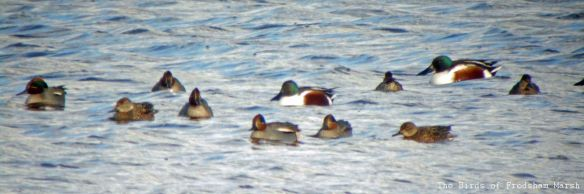 11.01.14. Ducks on No. 6 tank, Frodsham Marsh