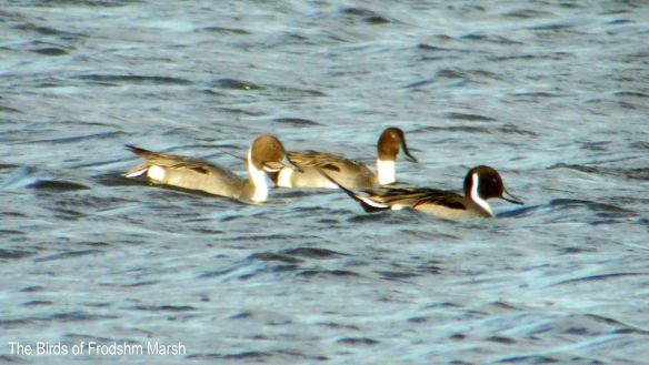 11.01.14. Pintail, No. 6 tank, Frodsham Marsh