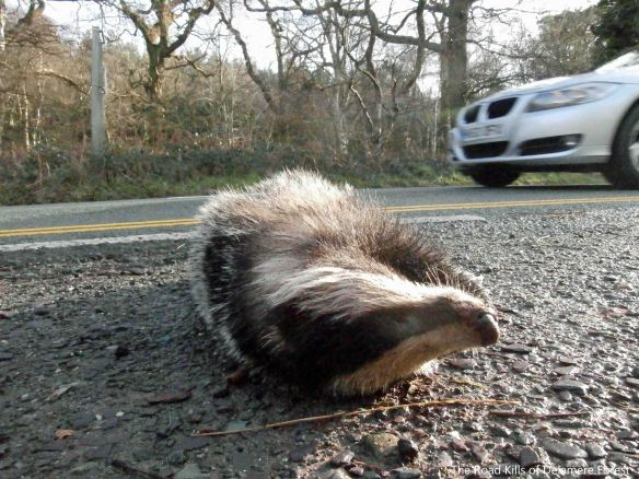 27.01.14. Dead Badger, Station Road, Delamere Forest. Bill Morton