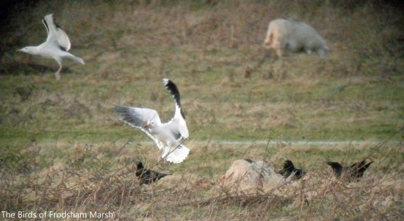 27,01.14. Great Black-backed Gulls and Ravens dispute sheep carcass, No. 5 tank, Frodsham Marsh. Bill Morton.