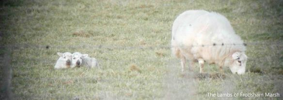 27.01.14. Lambs and Ewe on No. 5 tank, Frodsham Marsh. Bill Morton
