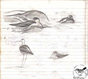 Pencil field sketch of nesting Black-winged Stilts, No6 tank, frodsham Marsh. 1993. Bill Morton