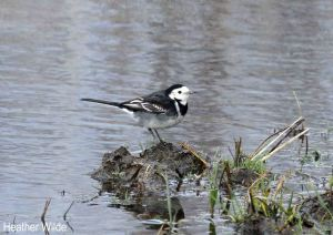 Pied Wagtail. Heather Wilde.