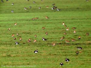 01.02.14. Golden Plovers & Lapwings, No. 5 tank, Frodsham Marsh. Bill Morton