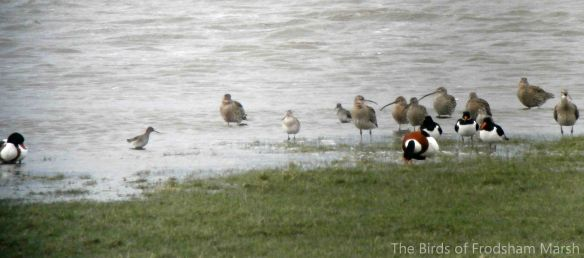 01.02.14. Wader roost on Frodsham Score: Redshank, Bar-tsiled Godwit, Curlews and Oystercatchers. Bill Morton