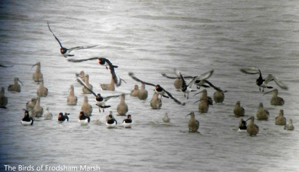 01.02.14. Wader roost on Frodsham Score. Bill Morton