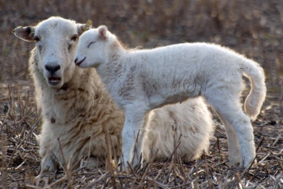 Lamb and Ewe, Marsh Farm, Frodsham Marsh. Bill Morton