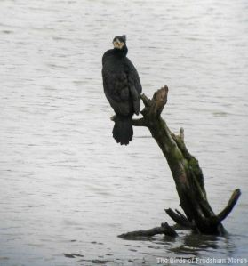 06.02.14. Cormorant, No. 6 tank, Frodsham Marsh. Bill Morton