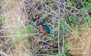 19.12.13.Kingfisher, Lordship Lane, Frodsham Marsh. Paul Crawley (4)