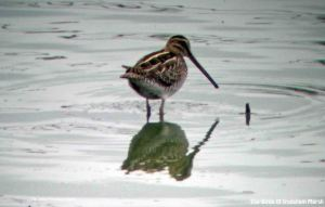 21.09.10. Common Snipe. Frodsham Marsh