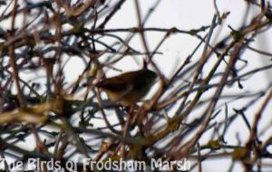 16.02.14. Chiffchaff, No. 5 tank, Frodsham Marsh. Bill Morton.