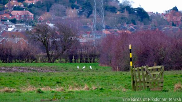 23.02.14. Little Egrets, Lordship Marsh, Frodsham Marsh. Bill Morton