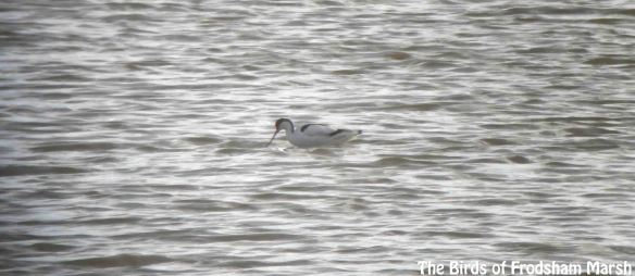 24.02.14. Avocet, No.6 tank, Frodsham Marsh. Bill Morton