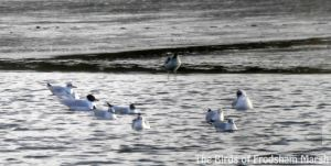 28.02.14. Mediterranean Gull and Avocet, No.6 tank, Frodsham Marsh. Bill Morton