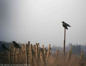 16.02.14. Ravens, No. 5 tank, Frodsham Marsh. Bill Morton