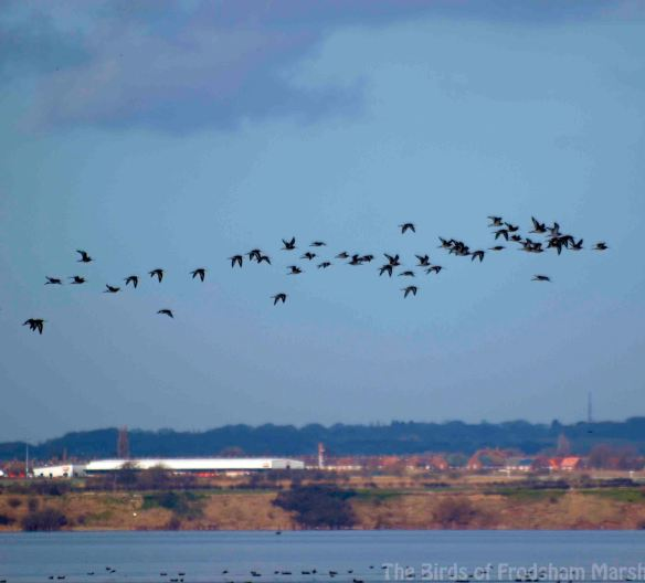 01.03.14. Frodsham Score and Black-tailed Godwits. Bill Morton
