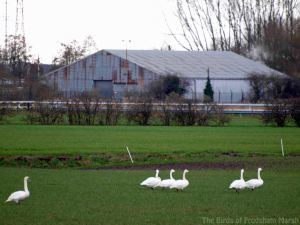01.03.14. Whooper Swans and a single Mute Swan, Holpool Gutter, Frodsham Marsh. Bill Morton