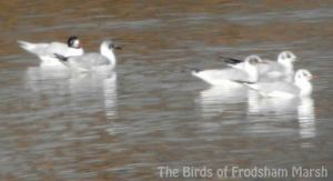 01.03.14. Summer adult Med Gull, No.6 tank, Frodsham Marsh. Bill Morton