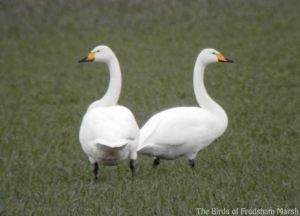 01.03.14. Whooper Swans, Frodsham Marsh. Bill Morton