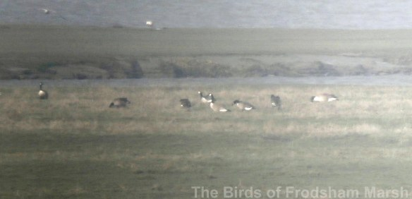 29.03.14. Barnacle and Canada Geese, Frodsham Score, Frodsham Marsh. Bill Morton