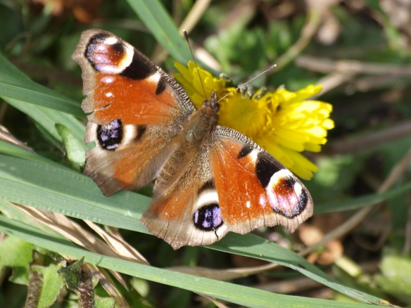 30.03.14. Peacock Butterfly, Delamere Forest. Bill Morton