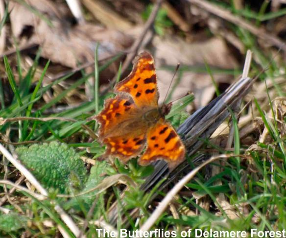 30.03.14. Comma Butterfly, Delamere Forest. Bill Morton