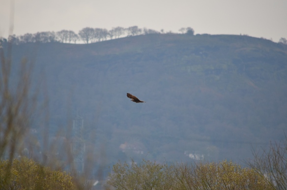 27.03.14. Marsh Harrier, Frodsham Marsh. Stuart Maddocks.