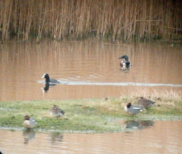 31.03.14. Shoveler and Teal, No.6 tank, Frodsham Marsh. Bill Morton
