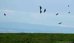Ravens. Frodsham Marsh. Bill Morton