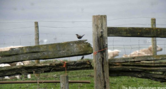 05.04.14. Ring Ouzel (female), Frodsham Score. Bill Morton