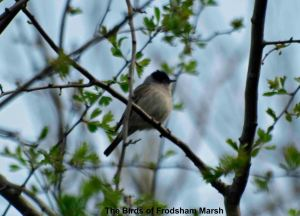 11.04.14. Blackcap. Bill Morton