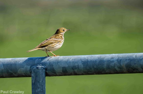19.04.14. Meadow Pipit, Frodsham Marsh. Paul Crawley