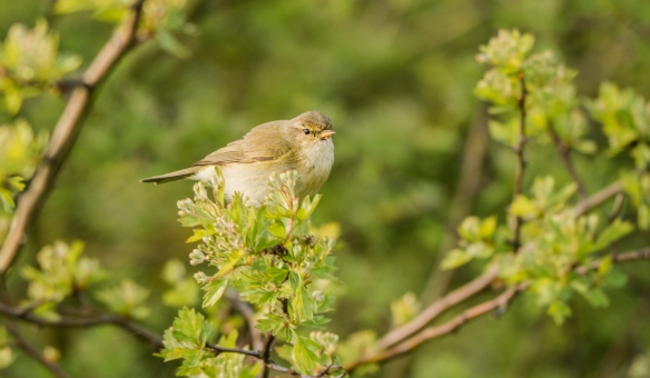 19.04.14. Chiffchaff, Frodsham Marsh. Bill Morton