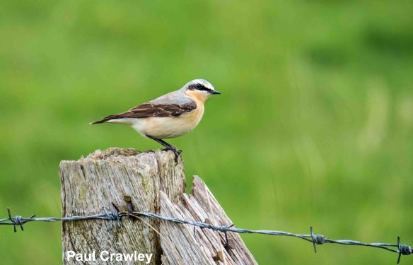 20.04.14. Wheatear, Frodsham Marsh. Bill Morton