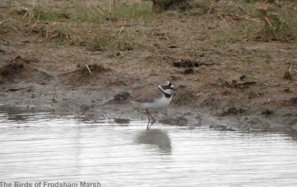 12.04.14. Little Ringed Plover, 'Shooters Pool', Frodsham Marsh. Bill Morton