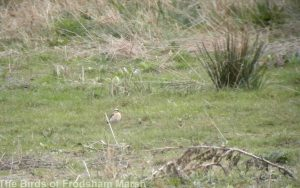 12.04.14. Wheatear, Shooters Pools, Frodsham Marsh. Bill Morton