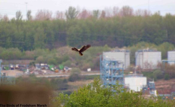 12.04.14. Marsh Harrier, Frodsham Marsh. Bill Morton