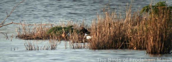 15.04.14. Garganey (drake), Weaver Bend, Frodsham Marsh. Bill Morton