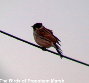 Reed Bunting (male), Marsh Farm, Frodsham Marsh.