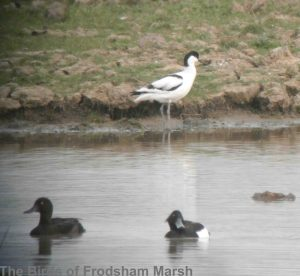 30.04.14. Avocet and Tufted Duck, Frodsham Marsh. Bill Morton