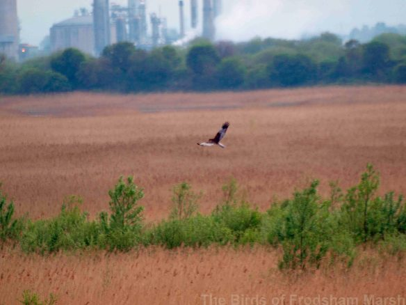 22.04.14. Marsh Harrier (male), No.6 tank, Frodsham Marsh. Bill Morton
