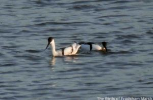 15.04.14. Avocets, No.6 tank, Frodsham Marsh. Bill Morton