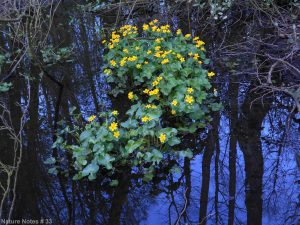 10.04.14. Marsh Marigold, Murdishaw Valley, Runcorn. Bill Morton