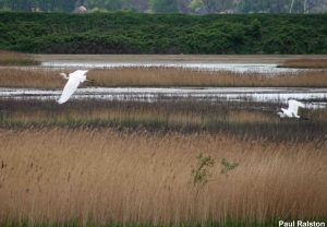 26.04.14. Little Egrets, No.6 tank, Frodsham Marsh. Paul Ralston