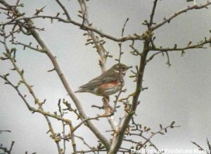 02.04.14. Redwing, Frodsham Marsh. Bill Morton