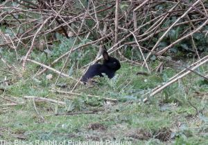 04.04.14. Baby Black Rabbit, Pickerings Pasture. Bill Morton