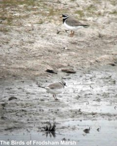 20.04.14. Ringed Plovers, Frodsham Marsh. Bill Morton